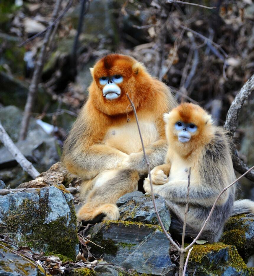 川金丝猴(国家一级保护动物)-濒危野生动物介绍-天下