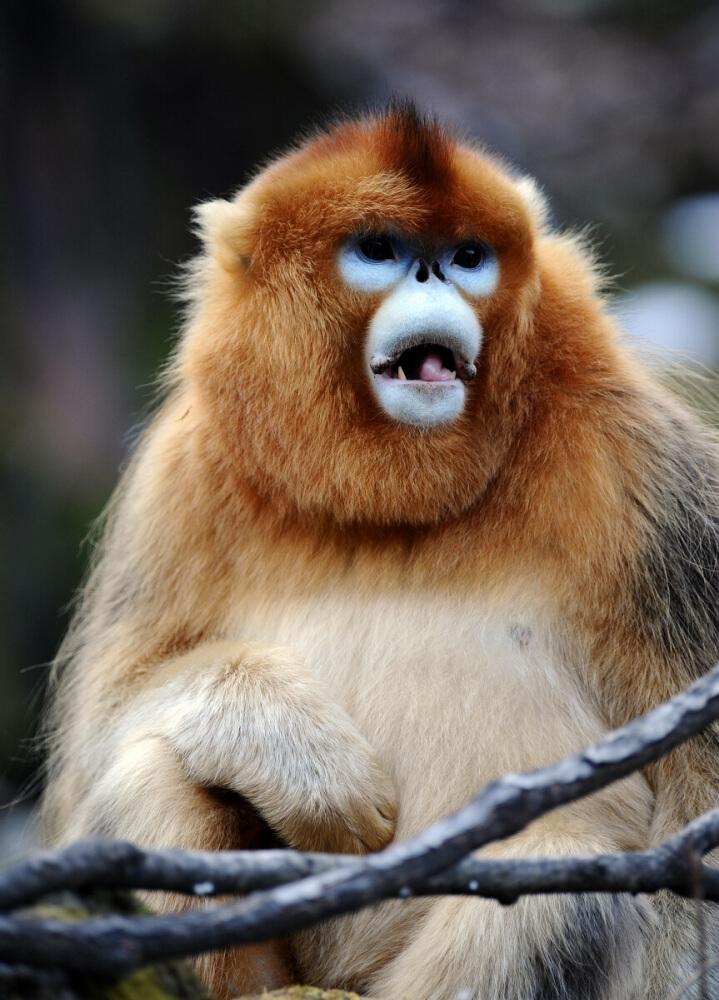 川金丝猴(国家一级保护动物)