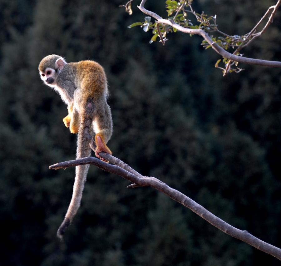 蜂猴(国家一级保护动物)