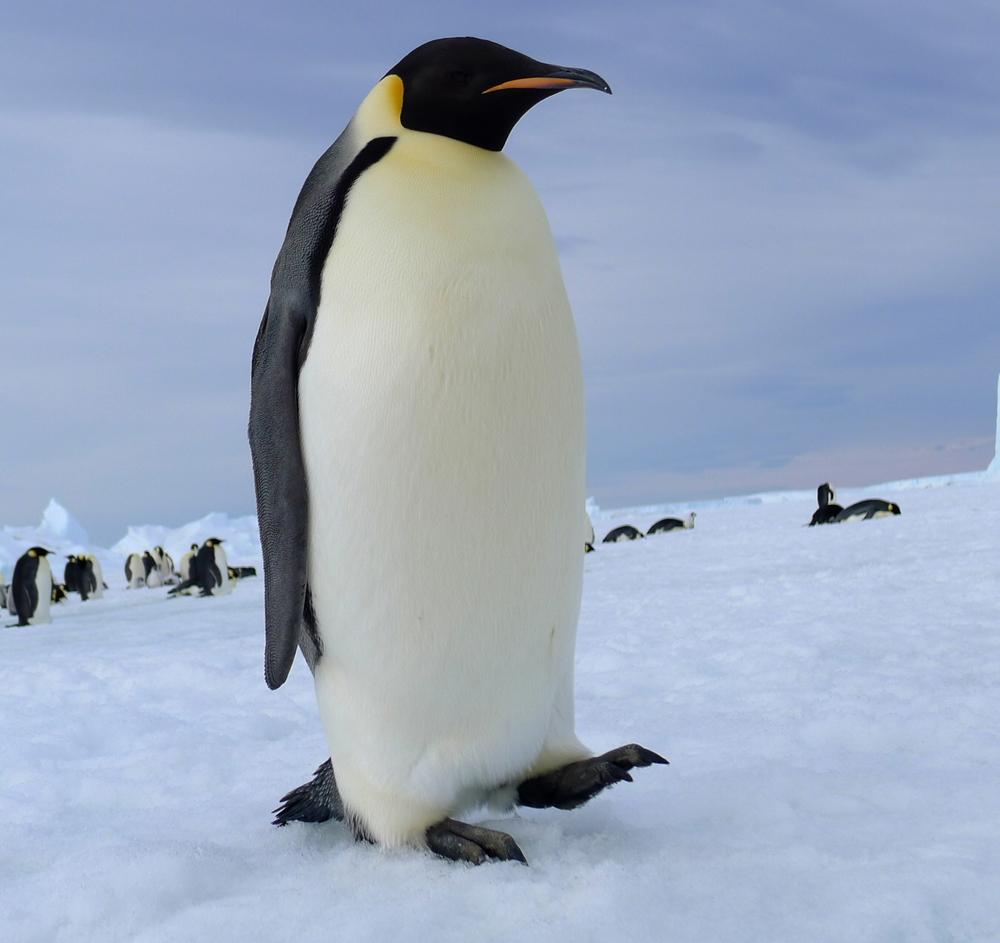 企鹅总给人又萌又蠢的感觉, 圆圆胖胖的身体和短短的腿, 走起路来一摇一摆,还时不时滑倒....... 但是在日本有一只企鹅 居然聪明到能背着包独自上街买鱼!  这位背着企鹅包的企鹅就是本文的主人公——Lala。 Lala原本是在南极洲生活的企鹅, 原主人,一名日本渔夫在南极海域捕鱼时, 发现了受伤的Lala。  如果当时不救Lala,它很有可能活不下来, 于是善良的渔夫就救助了它并且带了回来。 之后Lala被托付给了新主人, 新主人也对它特别爱护。  在日本,Lala不仅适应了相