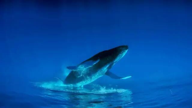 世界上最孤独的鲸鱼,他们在向你赶来-野生动物艺术家