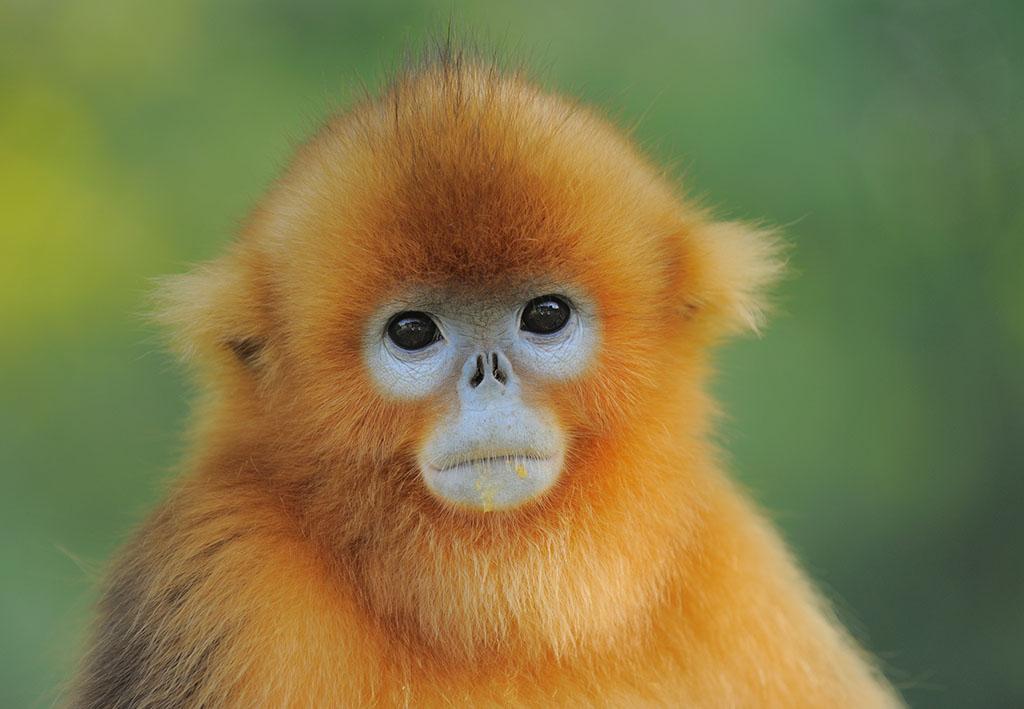 川金丝猴 拉丁学名:Rhinopithecus roxellanae 品种科属:动物界、脊椎动物门、脊椎动物亚门、哺乳纲、真兽亚纲、灵长目、猿猴亚目、猴科、疣猴亚科、仰鼻猴属 中文名称:金丝猴 俗名:仰鼻猴 英文名:Golden Snub-nosed Monkey 保护级别:国家一级保护动物  形态特征: 为体型中等猴类。鼻孔向上仰,颜面部为蓝色,无颊囊。颊部及颈侧棕红,肩背具长毛,色泽金黄,尾与体等长或更长。成年雄体长平均为680mm,尾长685mm。 分布范围: 仅分布于中国四川、甘肃、陕西和湖北。