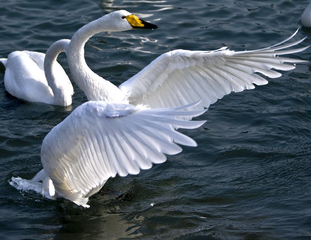 大天鹅(国家二级保护动物)