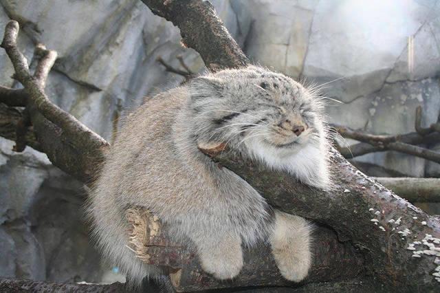 """你还在对网络爆红的表情帝津津乐道吗?动物界也有这么一群或可爱,或蠢萌,或霸道的""""表情帝"""",甚至比人类的表情更加丰富精彩。开心,生气,卖萌,搞怪,谁说动物没有自己的情绪?下面就让我们来看看这些动物表情帝都摆出了怎么样的表情吧! 雪鸮(Bubo Scandiaca) 国家二级重点保护野生动物  雪鸮作为动物界移动的表情包,总能把蠢萌气质发挥得很好。别看它长着一副傻傻的脸,实际上雪鸮是鸱鸮科的一种大型猫头鹰,主要捕食旅鼠,偶捕食野兔、鸥和鸭等大型猎物。这种体型较大的猛禽是独居、划定地盘的"""