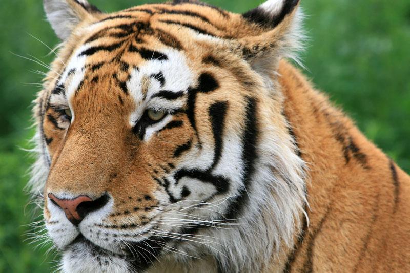 东北虎(国家一级保护动物)