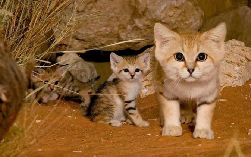 萌萌的外表可爱到,这种大眼睛巴掌脸,耳朵肥肥有点像狐狸的猫是最小的